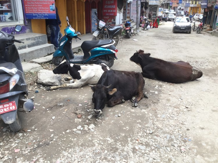 Cow lying on the road
