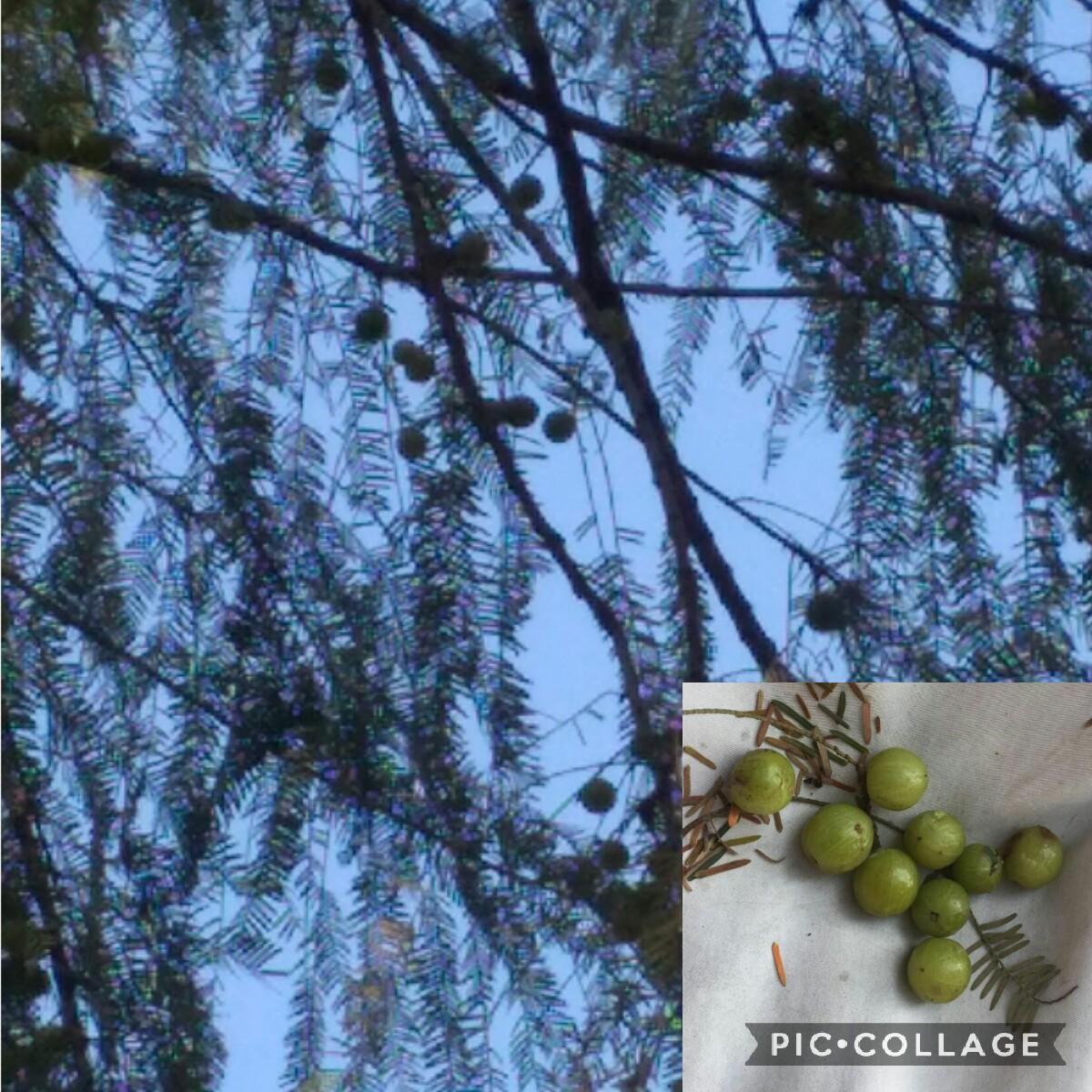 fruit of amara