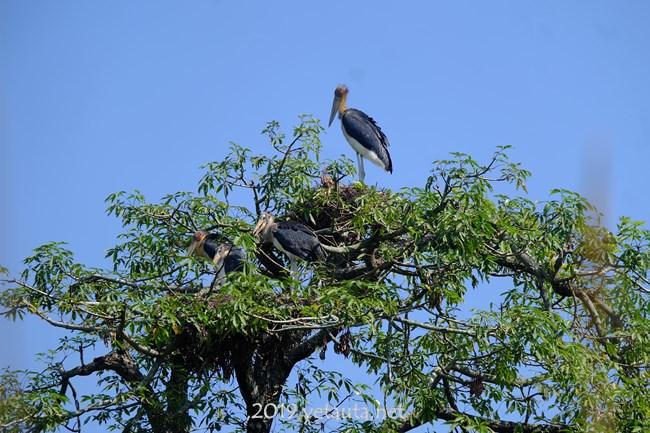vulturs on tall treesin chitwan
